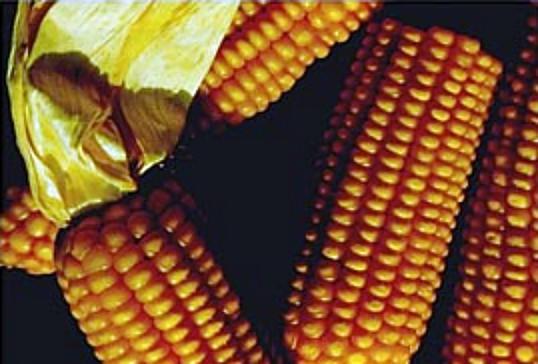 Il no italiano al cibo transgenico agli agricoltori costa 350 milioni