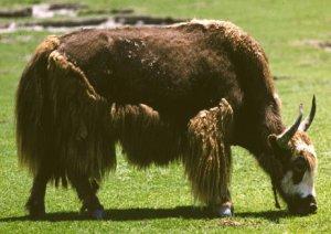 Gli yak in Italia c'erano anche prima di Zaia. Della Vedova testimone