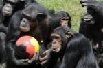 scimmie_olimpiadi